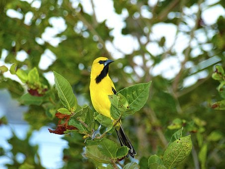Trupial, Bird, Curacao, Caribbean, Yellow, Black