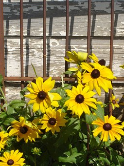 Flowers, Black-eye Susans, Perennial, Yellow Flower