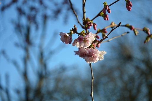Blossom, Cherry, Flower, Tree, Nature, Blossoms, Spring