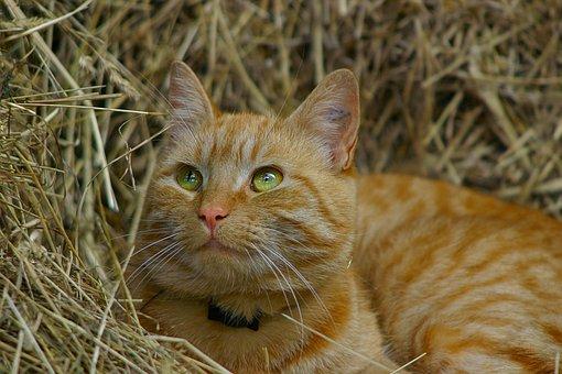 Cat, Kitty, Feline, Face, Pet, Domestic, Kitten, Cute