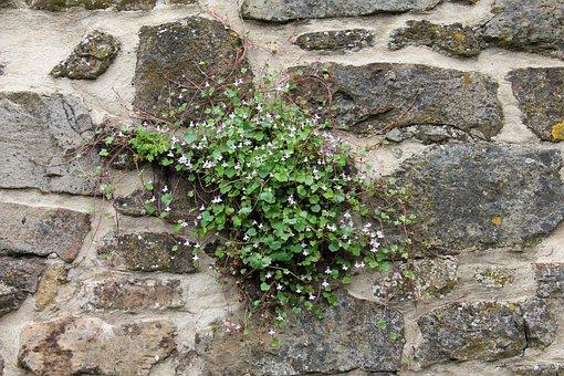 Plant, Wall, Blossom, Bloom, Dulcimer Herb, Blue
