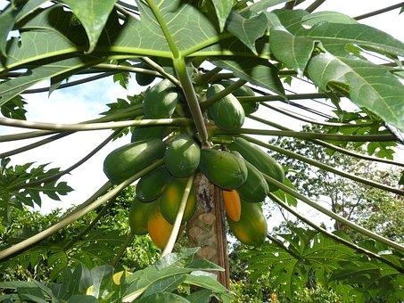 Papaya, Jungle, South America, Healthy, Vitamins, Eat