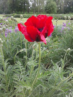 Early Summer, Blossom, Bloom, Flower Bed, Red, Poppy