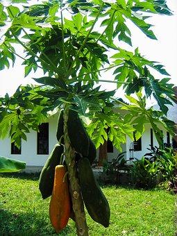 Papaya, Papaya Tree, Fruits