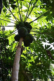 Papaya Tree, Papayas, Fruits, Papaya, Sunlight