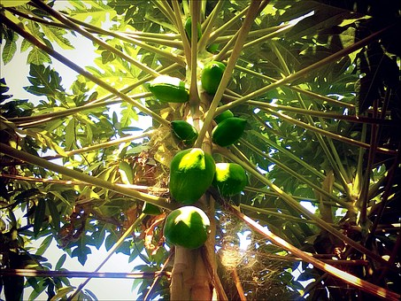 Papaya, Fruit, Exotic, Papaya Tree, Green, Food