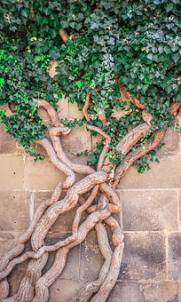 Ivy, Wood, Green, Wall, Leaves, Old, Root