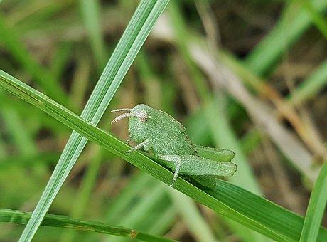 Grasshopper, Nymph, Greenstriped Grasshopper, Insect