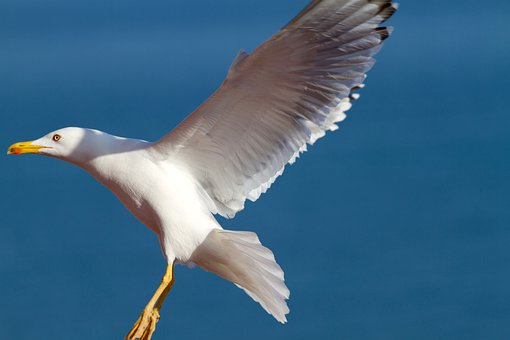 Seagull, Gull, Bird, Sea-gull, Wings, Fly, Flying, Fowl