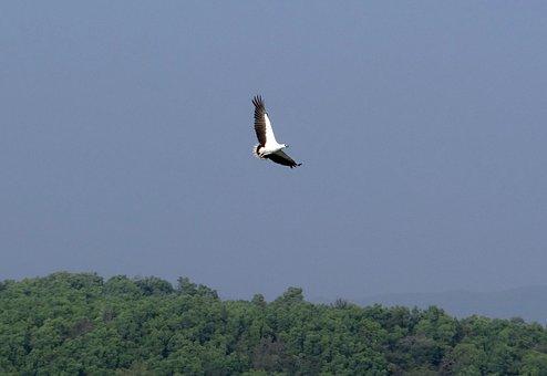 White-bellied Sea Eagle, Haliaeetus Leucogaster