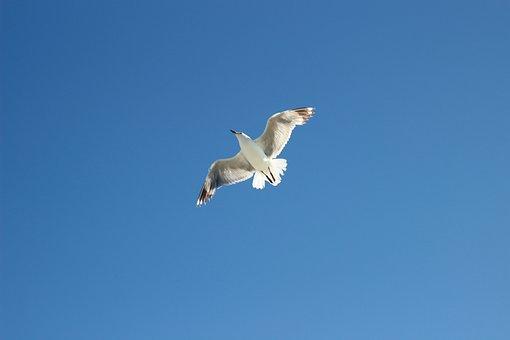 Seagull, Sea, Blue Sky, Bird, Nature, Water, Ocean, Sky