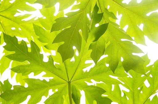 Papaya, Leaves, Green, Pattern, Abstract, Sunlight