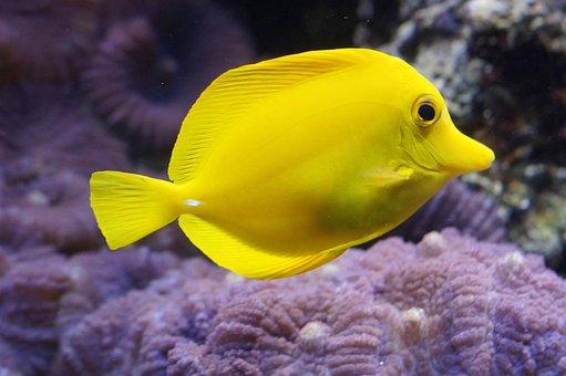 Lemon Doktorfisch, Surgeonfish, Bright Yellow, Fish