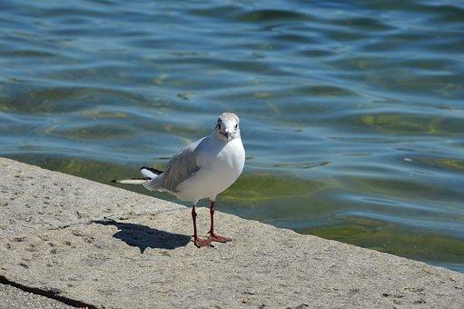 Seagull, Lake, Bird, Waterfowl, Close Up, Gull, Water