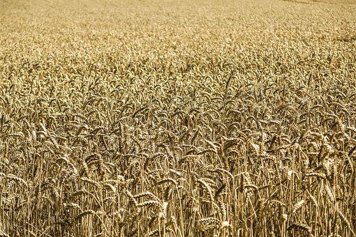 Cornfield, Corn, Wheat, Field, Farm, Agriculture, Maize