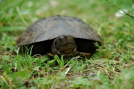 Turtle, Animal, Wildlife, Wild, Nature, Natural