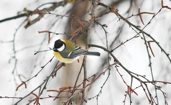Tit, Bird, Small Bird, Wildlife, White, Wild, Yellow