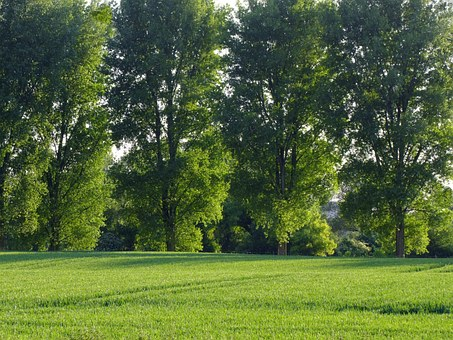 Landscape, Trees, Row Of Trees, Cornfield, Agriculture