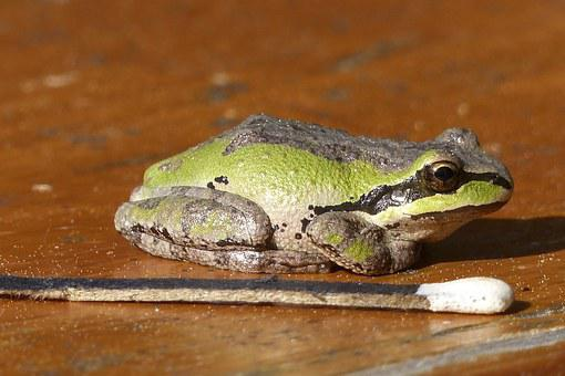 Tree Frog, Amphibian, Green, Frog, Tiny, Animal, Macro