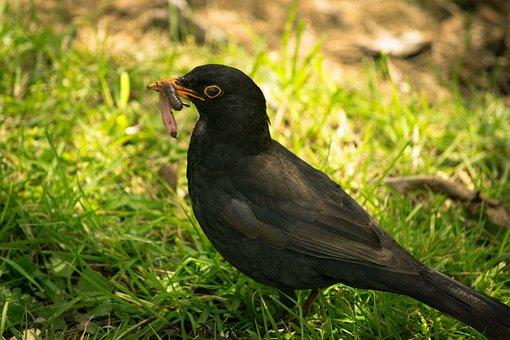 Black Bird, Worm, Eating, Food, Bird, Black, Animal