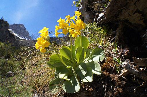 Auricula, Primula Auricula, Blossom, Bloom, Cowslip