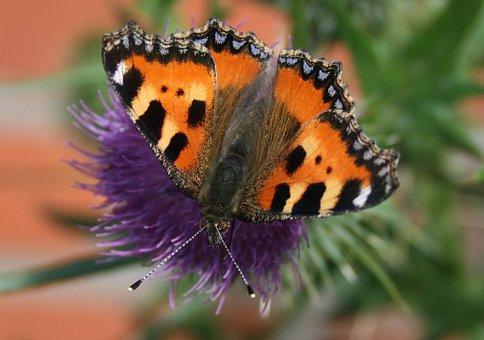 Butterfly, Little Fox, Butterflies, Blossom, Bloom