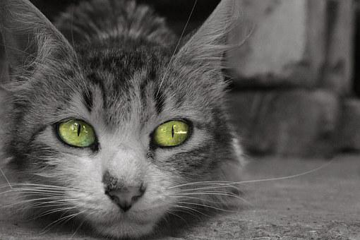 Cat, Feline, Pet, Animal, Whiskers, Look, Eyes