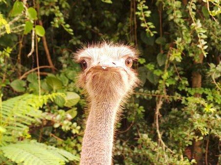 Ostrich, Safari, Closeup, Conservation, Tourism