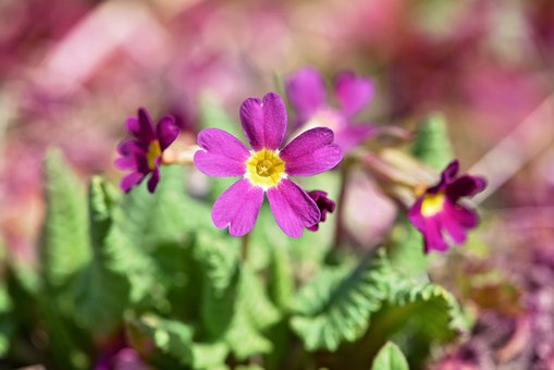 Kissenprimel, Violet, Cowslip, Early Bloomer
