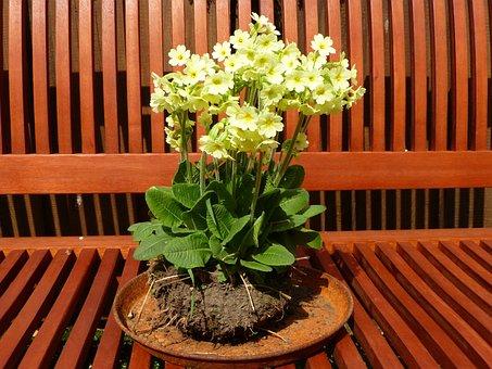 Cowslip, Yellow, High Primrose, Forest Primrose, Flower