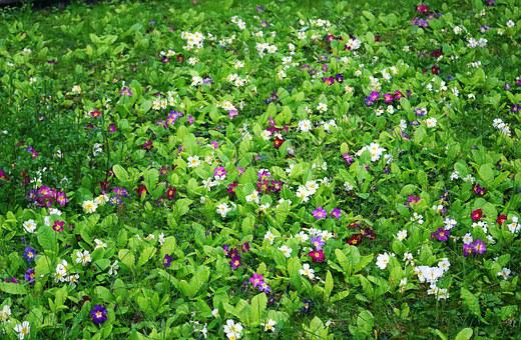 Primrose, Meadow, Grass, Spring, Flowers, Flower Meadow