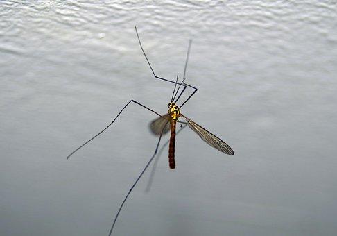 Komar, Komarnica, Insect, Feb, Huge, Worm, Macro, Wings