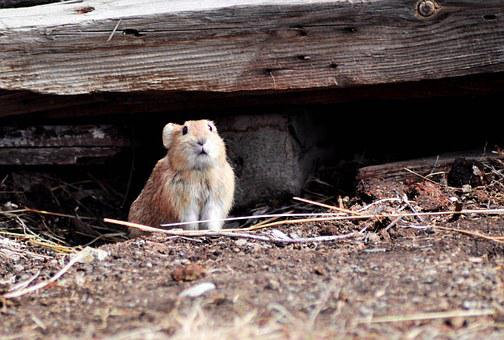 Rodent, Field Mouse, Animal, Mammal, Small, Wild
