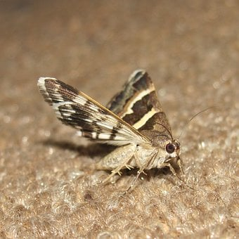 Moths, Brown, Insects, Bugs, Fly, Still Life, Sitting