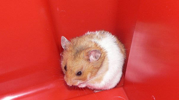 Hamster, Pet, Domestic, Rodent, Mouse, Small, Funny