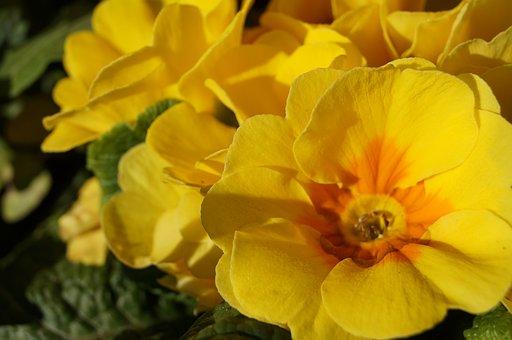 Flowers, Primroses, Spring, Flower, Nature, Yellow