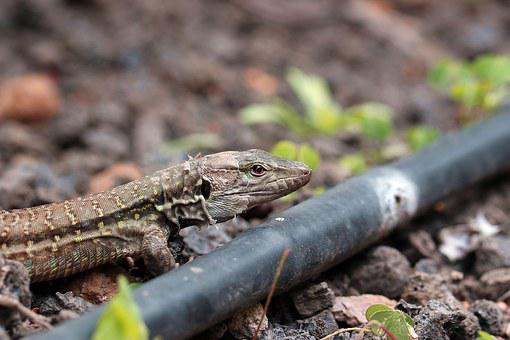 The Lizard, Eyes, Closeup, Gad, Skin, Nature, Animal