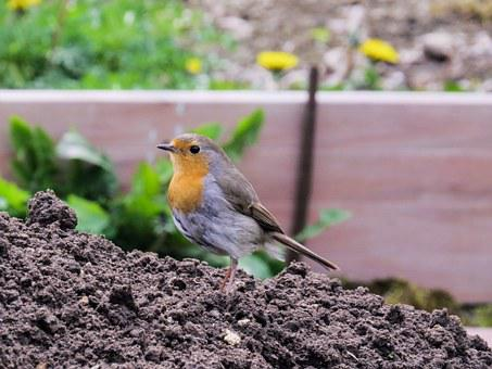 Bird, Robin, Nest, Garden, Nest Building, Young Birds