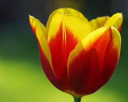 Tulips, Spring, Flowers, Red, Flamed