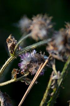 Flower, Macro, Thistle, Plant, Nature, Vegetable Tanned