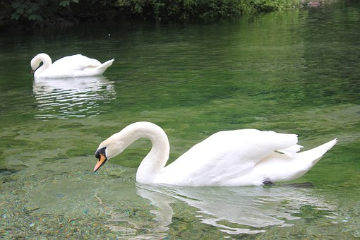 Igman, Lake, Bosnia, Swan, White