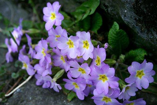 Wild Primroses, Primula Vulgaris, Primroses Pillow