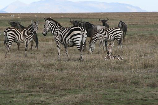 Zebra, Safari, Wildlife, Serengetti, Africa, Wild