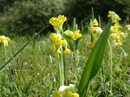 Cowslip, Spring, Meadow, Yellow, Spring Primrose, Close