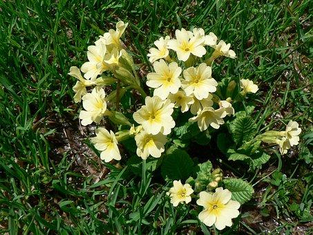 Cowslip, High Primrose, Flowers, Spring, Yellow