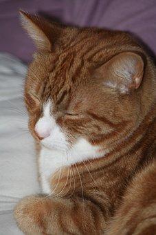 Ginger, Cat, Sleeping, Pet, Marmalade, Animal, Adorable