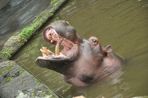 Hippopotamus, Amphibius, Hippo, Sumatera, Animal, Wild