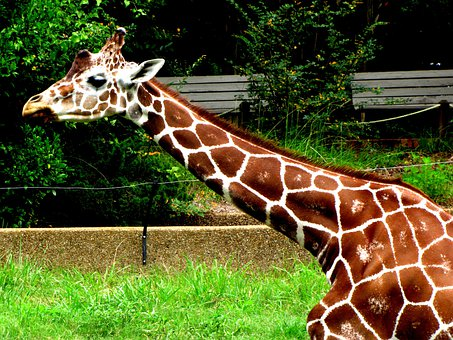 Giraffe, Animal, Long Neck, Wild, Zoo, Safari, Mammal