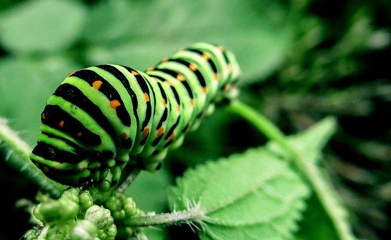 Caterpillar, Bug, Nature, Insect, Animal, Green