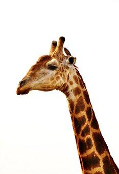 Giraffe, Giraffe Neck, Animal, Wild Animal, Portrait